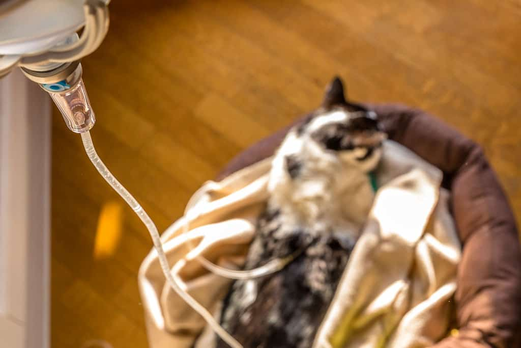 An birds-eye view of a cat lying on blankets, using an IV drip.