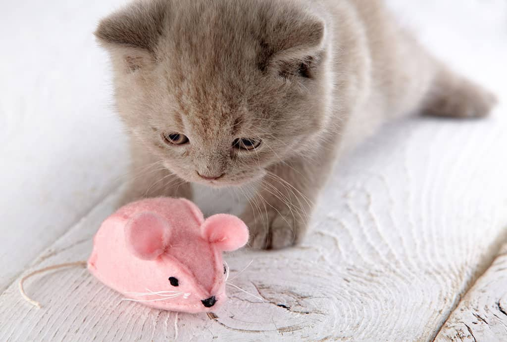 A cute grey kitten staring at a pink stuffed animal (mouse) toy.