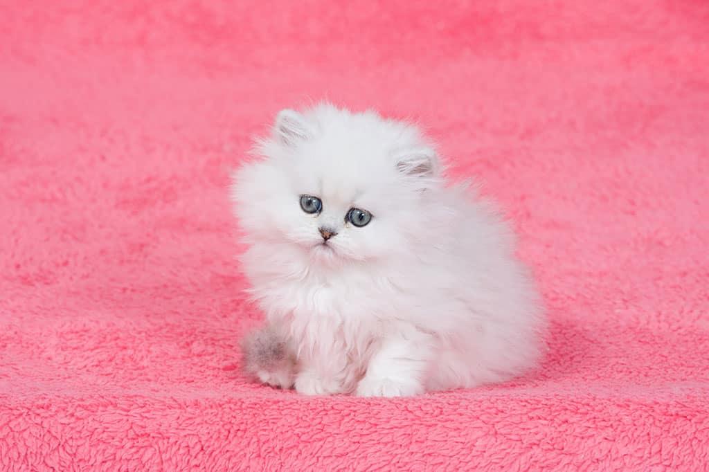A cute, white kitten sitting on a pink carpet.