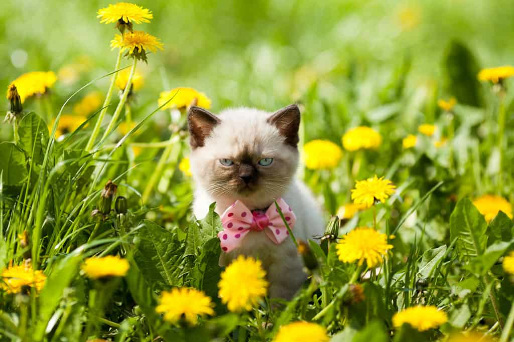 A small light tan and black Siamese kitten wearing a pink and red bowtie around its neck in a field with grass and yellow flowers.