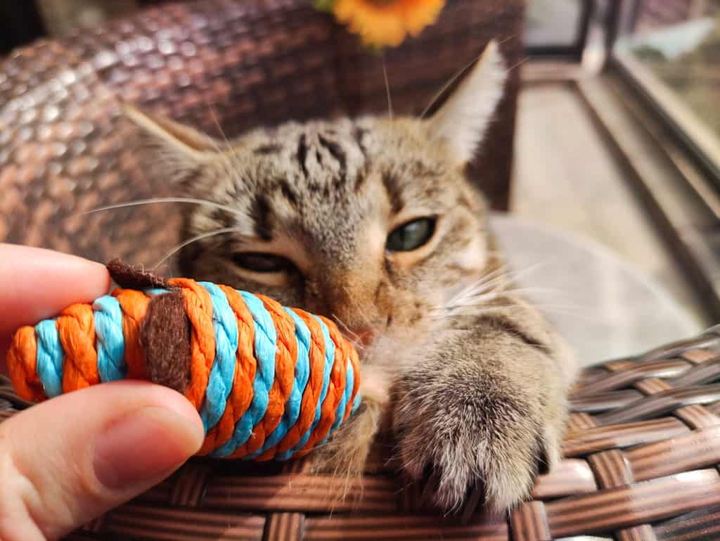 A grey cat with black stripes in a brown basket biting at a colorful toy being held by someone.