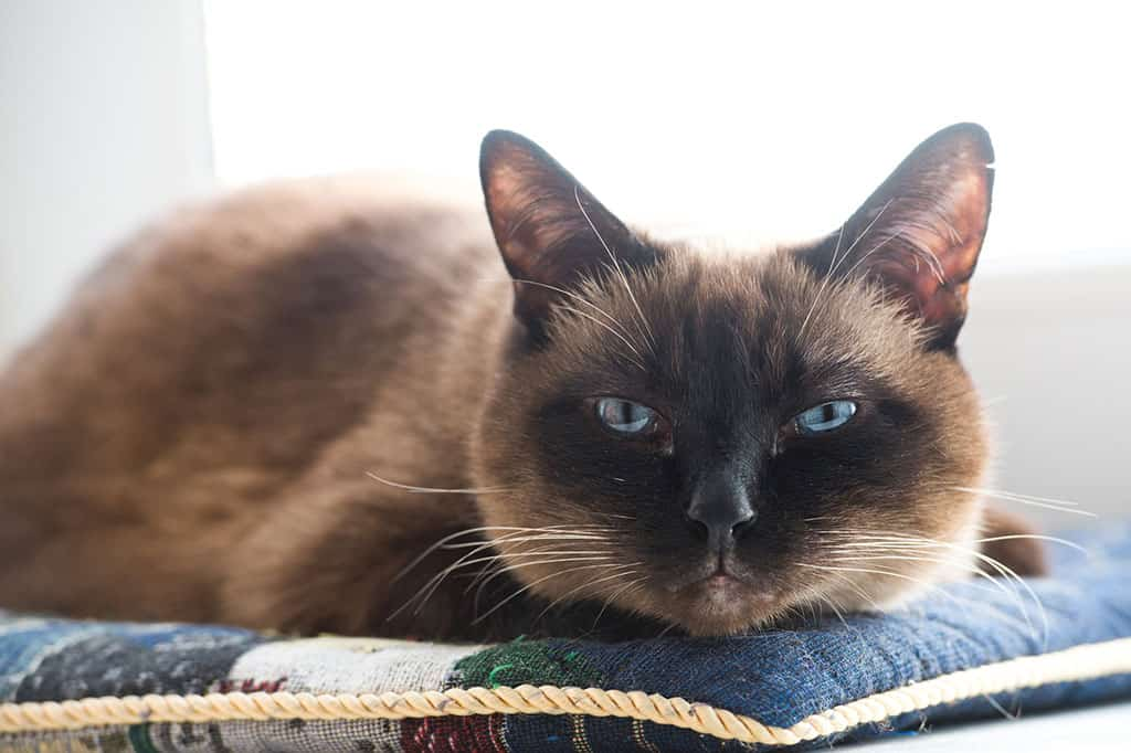 An old black and brownish Siamese cat lying down looking tired.