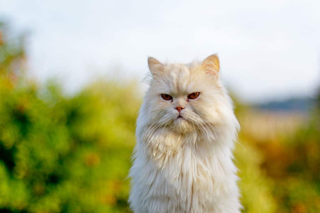 A white and light tan Persian cat sitting down starting at something.