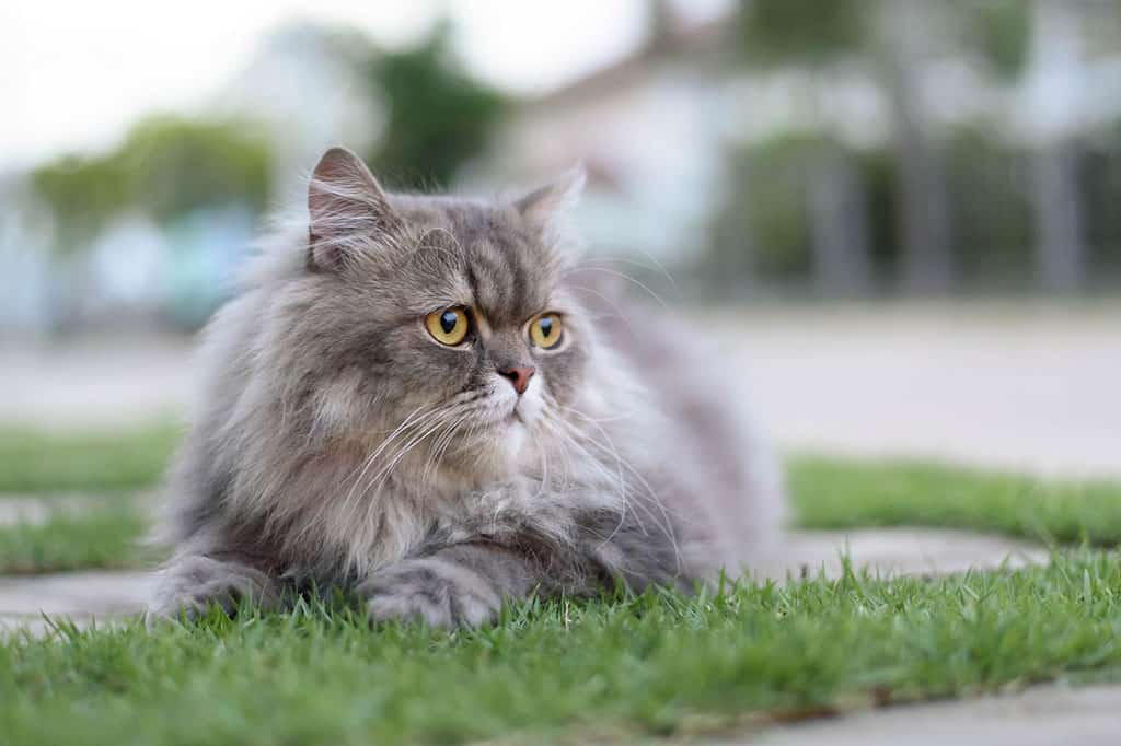 A grey Persian cat lying down outside on a patch of grass.