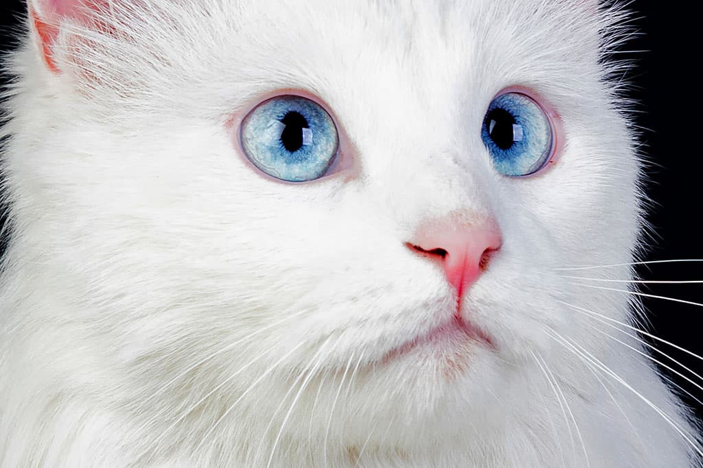 A close-up shot of a white Persian cat's face (blue eyes).