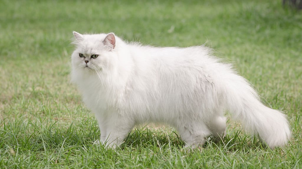 A white Persian cat outside standing on grass.