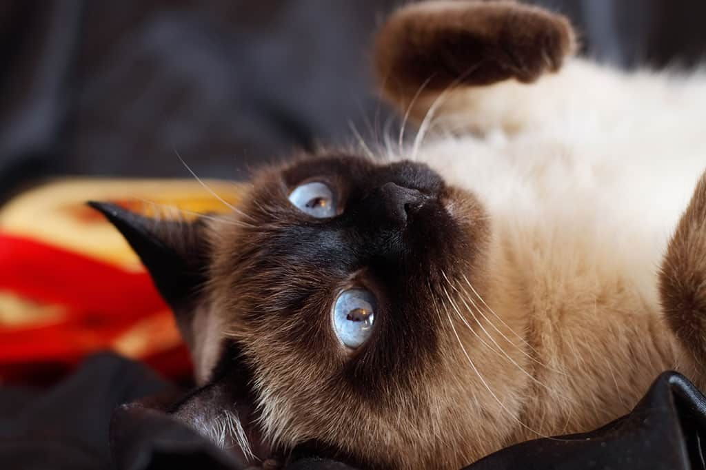 A light brownish and black Siamese cat with blue eyes lying on its back looking like it wants to play.