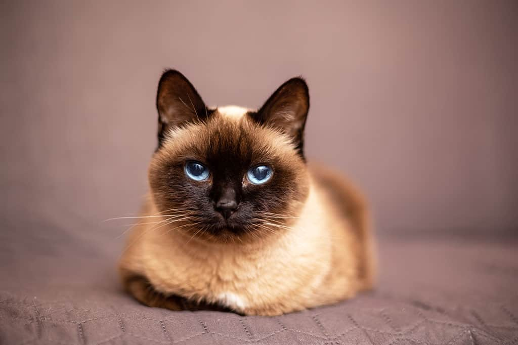 A light brownish and black Siamese cat with blue eyes lying down on a brown blanket looking at the camera.