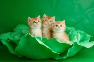 Three white and yellowish kittens inside of plastic cabbage leaves.